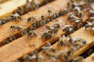Bees Wandering